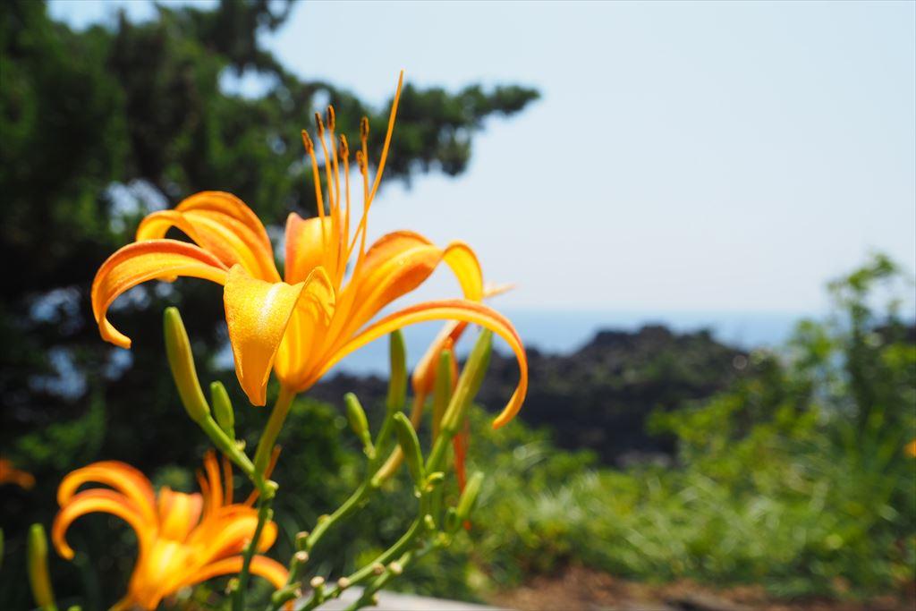 城ヶ崎海岸に咲くユリ科のハマカンゾウ